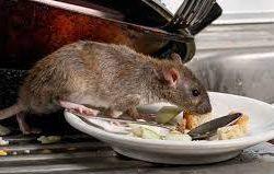 Cara Mengusir Tikus Dari Rumah Paling Ampuh Dengan Bahan Alami